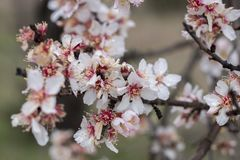 Almond tree bloom. Close view of the beautiful flowers of almond trees Stock Image