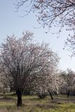 Almond tree bloom. Close view of the beautiful flowers of almond trees Royalty Free Stock Photography