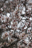 Almond tree bloom. Close view of the beautiful flowers of almond trees Royalty Free Stock Image