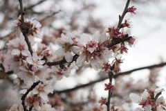 Almond tree bloom. Close view of the beautiful flowers of almond trees Stock Images