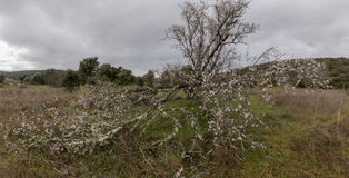 Almond tree bloom. Close view of the beautiful flowers of almond trees Royalty Free Stock Photos