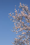 Almond tree bloom. Close view of the beautiful flowers of almond trees Royalty Free Stock Photo
