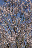 Almond tree bloom. Close view of the beautiful flowers of almond trees Stock Photo