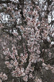 Almond tree bloom. Close view of the beautiful flowers of almond trees Stock Photos