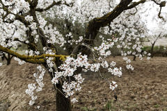 Almond tree in bloom Royalty Free Stock Images