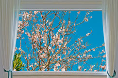 Almond tree and window Stock Photos