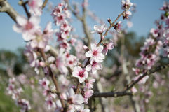 Almond tree blooming Stock Image