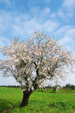 Almond tree blooming in the alentejo region Royalty Free Stock Photography