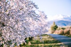 Almond tree blooming in orchard at spring. In pastel colors Stock Images