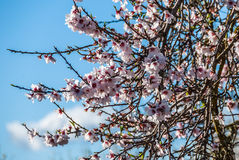 Almond tree blooming in winter sun in Majorca, Spain. Closeup of pink blossoms of almond trees in Majorca, Spain and blue sky in background Stock Photography