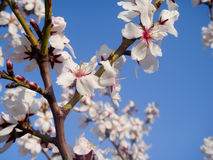 Almond tree blooms Royalty Free Stock Image