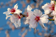 Almond tree blooms