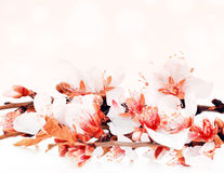 Almond tree blossom Royalty Free Stock Image
