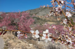 Almond tree blossom. Flowering almond tree branch against the background of the grove Royalty Free Stock Image