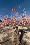 Almond tree blossom. Flowering almond tree in a wide angle take Stock Images