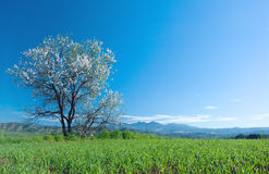 Almond Tree in blossom Royalty Free Stock Image