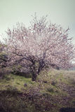 Almond Tree in Blossom. In Tejeda Royalty Free Stock Photos