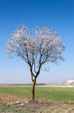 An almond tree in blossom Royalty Free Stock Photography