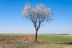 An almond tree in blossom Stock Photos