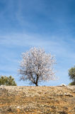 An almond tree in blossom Royalty Free Stock Images