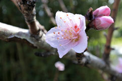 Almond tree blossom. On Tu BiShvat. Nature background Royalty Free Stock Images