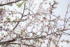 Almond tree blossom background flower and branches early spring seasonal plant Stock Image