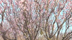 Almond tree in blossom stock video footage