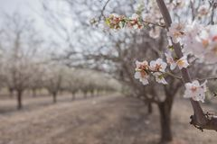 Almond tree blossom flower and branches close up over grove background early spring seasonal plant Royalty Free Stock Photo
