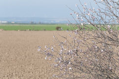 Almond Tree in Blossom. Flowering almond tree with almonds Royalty Free Stock Photo