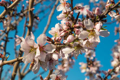 Almond tree blossom. Flowering almond tree branches against the background of blue sky Stock Image