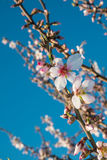 Almond tree blossom. Flowering almond tree branches against the background of blue sky Royalty Free Stock Image