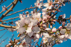 Almond tree blossom. Flowering almond tree branches against the background of blue sky Royalty Free Stock Photos