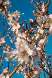 Almond tree blossom. Flowering almond tree branches against the background of blue sky Stock Images