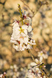 Almond tree blossom. Flowering almond tree branches against the background  of a Mediterranean farmhouse Stock Photo