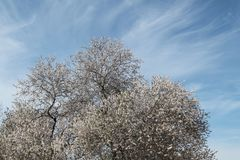 Almond Tree in Blossom. Almond tree in full white flowers bloom set against a blue sky with light clouds Stock Images