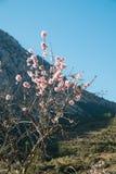 Almond tree blossom Royalty Free Stock Image