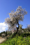 Almond tree blossom. Royalty Free Stock Photography
