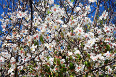 Almond tree blossom Stock Image