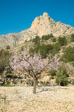 Almond tree blossom Royalty Free Stock Images