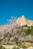 Almond tree blossom Royalty Free Stock Photography
