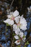 Almond tree blossom. White flowers of almond tree in spring Royalty Free Stock Photography