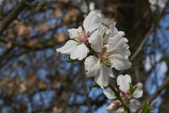 Almond tree blossom. White flowers of almond tree in spring Royalty Free Stock Photos