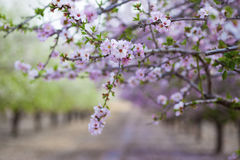Almond tree blossoming Royalty Free Stock Photos