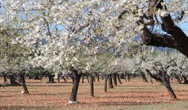Blossoming almond tree field. Almond tree blossoming during late winter in Mallorca countryside, on the Spanish Balearic islands Stock Images
