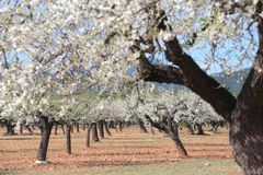 Blossoming almond tree field. Almond tree blossoming during late winter in Mallorca countryside, on the Spanish Balearic islands Royalty Free Stock Photo