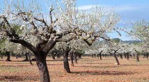Blossoming almond tree field wide. Almond tree blossoming during late winter in Mallorca countryside, on the Spanish Balearic islands Stock Photography