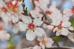 Almond tree blossoms. Flowering almond tree branch in spring, dew drops on flowers royalty free stock image