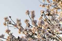 Almond tree blossoms. Close view detail of almond tree blossoms in the nature Stock Photography