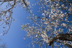 Almond tree blossoms. Close view detail of almond tree blossoms in the nature Stock Photo