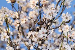 Almond tree blossoms. Close view detail of almond tree blossoms in the nature Royalty Free Stock Image